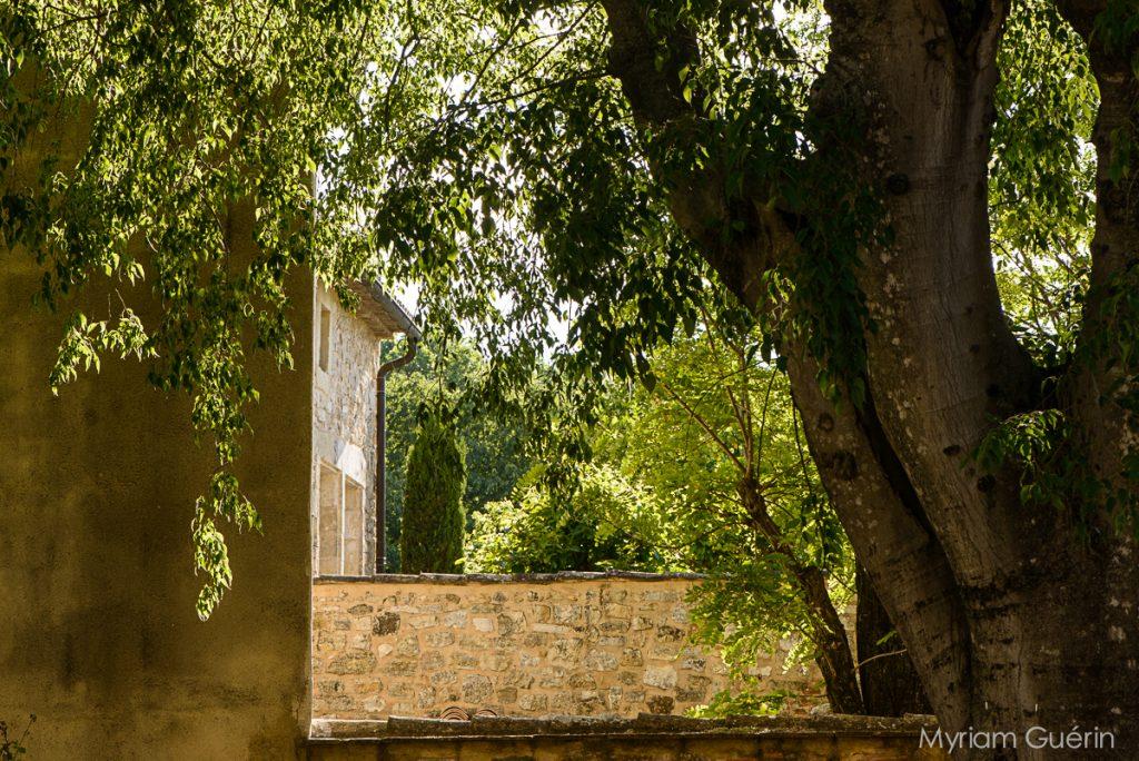 Micouloulier et mur en pierre